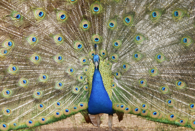 Indian Peafowl Royalty Free Stock Image