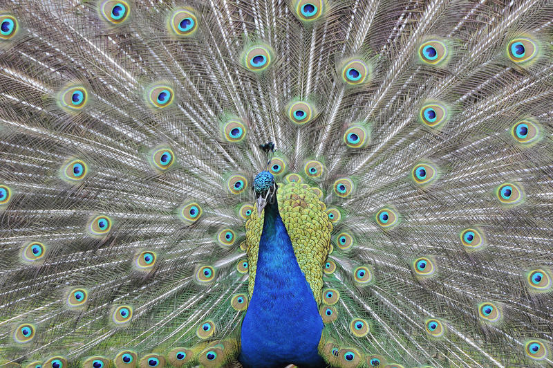 Indian Peafowl. Tail feathers from the front Indian Peafowl stock photos