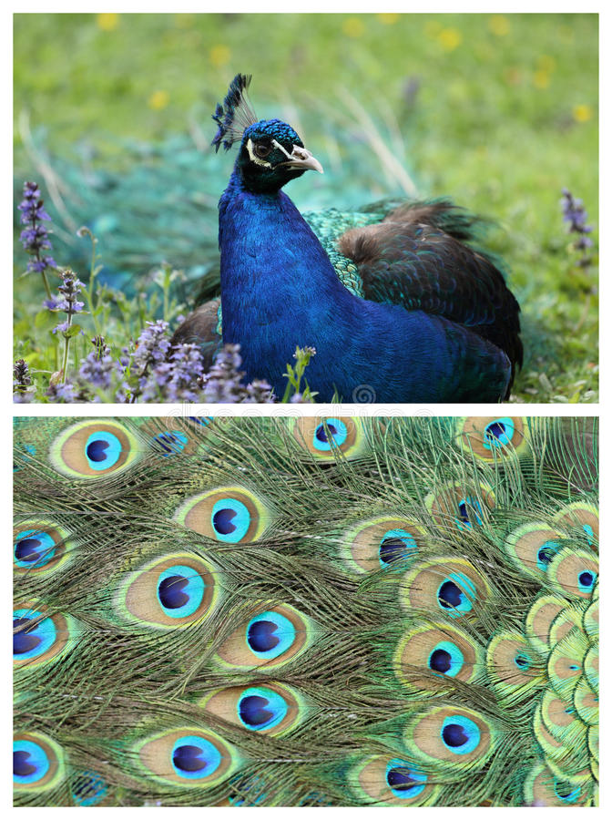 Download Indian Peafowl stock image. Image of colorful, bird, plumage - 22068233