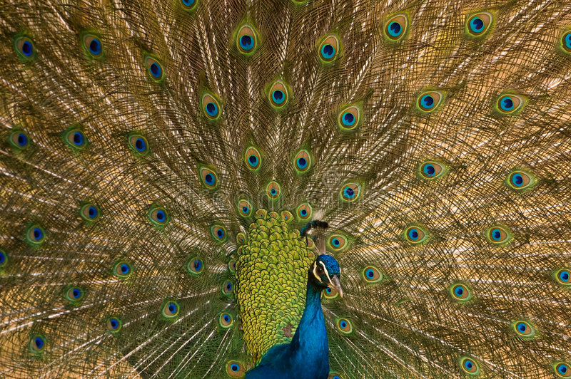 Indian Peafowl. (Pavo cristatus). Also called Common Peafowl or Blue Peafowl. Antananarivo, Madagascar stock images