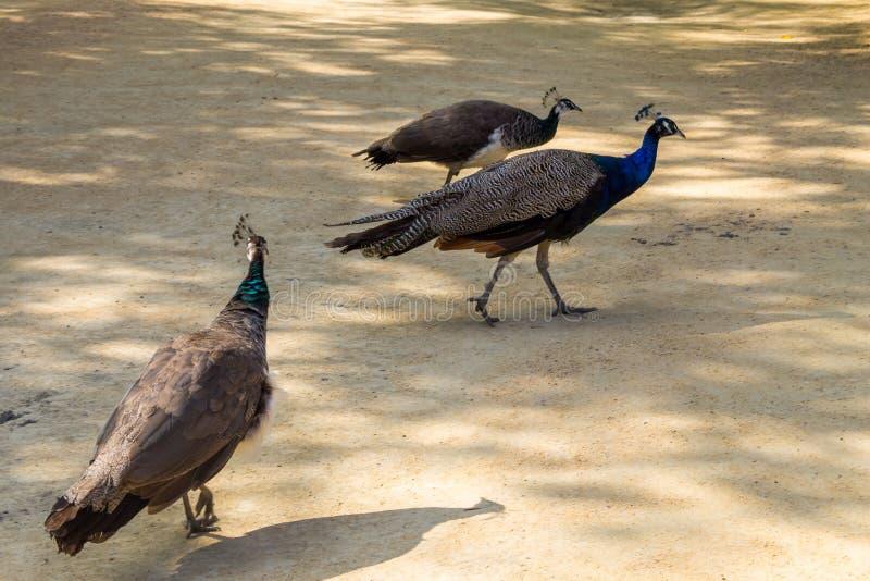 Indian peafowl or blue peafowl. Pavo cristatus royalty free stock photos