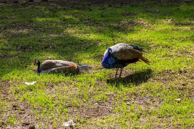 Indian peafowl or blue peafowl. Pavo cristatus royalty free stock images
