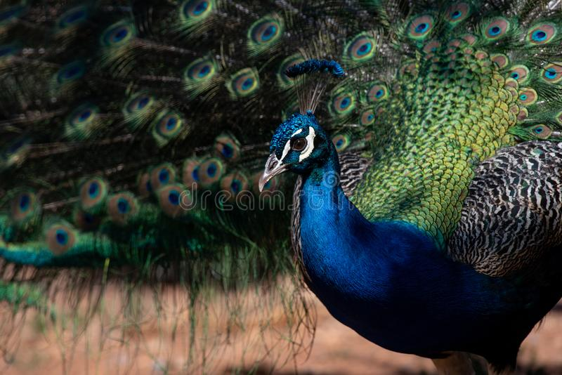 Beautiful Indian peafowl - Pavo cristatus - male bird. Indian peafowl or Blue peafowl - Pavo cristatus - a large and brightly colored bird is a species of royalty free stock photography
