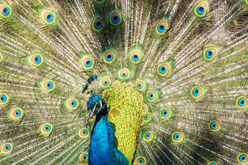 Indian Peacock or Blue Peacock, Pavo cristatus in the zoo. The Indian peafowl or blue peafowl, Pavo cristatus is a large and brightly coloured bird, is a species stock image