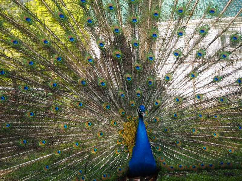 Indian peafowl or blue peafowl Pavo cristatus with open tail in the yard of the park zoo. Close view stock photo