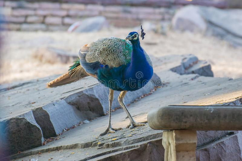Indian peafowl or blue peafowl. Pavo cristatus standing on the rocks. It is a National Bird of India once found in most parts of the country but because of stock images