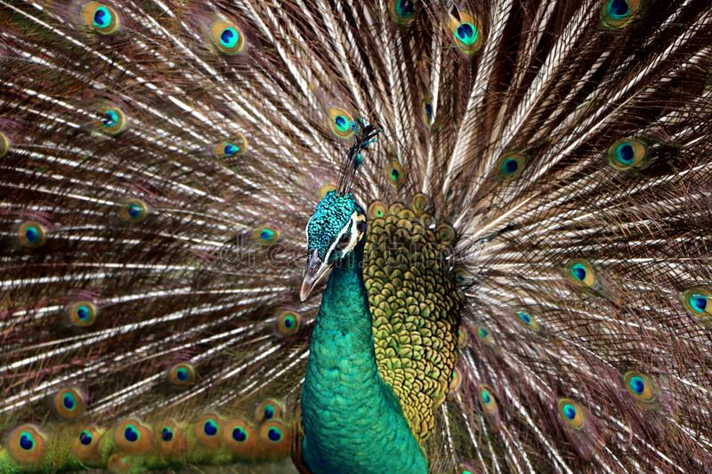 Indian peafowl or Blue peafowl. Include three species of birds in the genera Pavo and Afropavo of the Phasianidae family royalty free stock photos