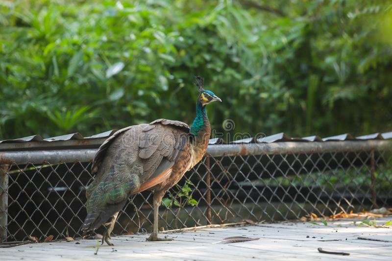 Indian Peafowl blue peafowl, a large and brightly colored bird. Female Peahens lack train, and have greenish lower neck and dull stock image