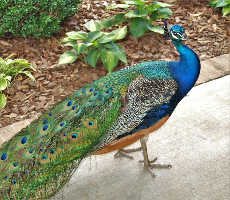 Indian Peafowl Peacock. The Indian peafowl or blue peafowl Pavo cristatus, commonly called a peacock, a large and brightly colored bird, is a species of peafowl stock photo