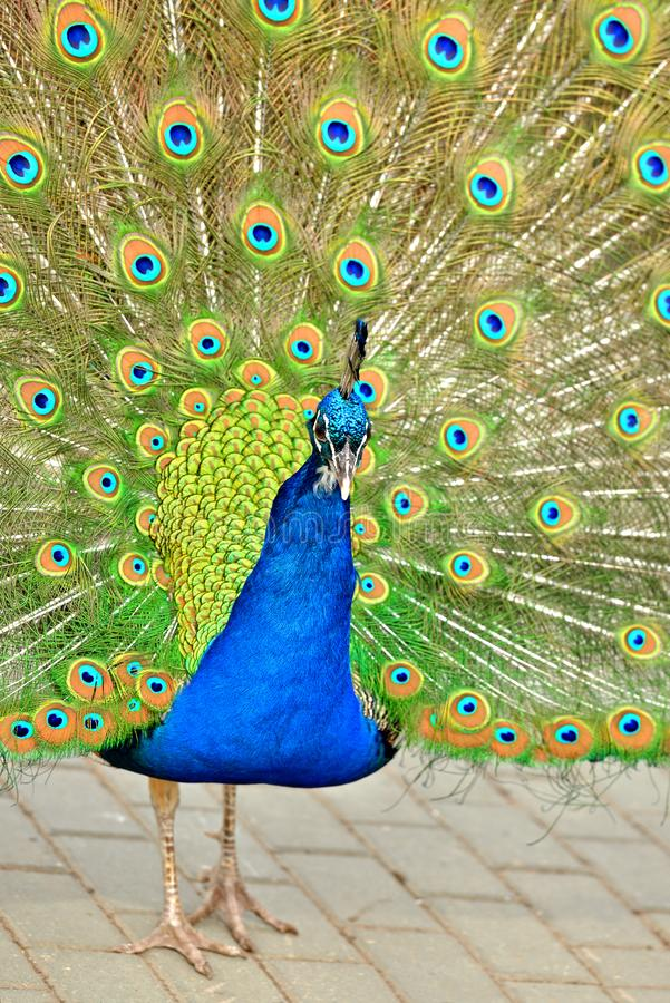 Indian peafowl or blue peafowl Pavo cristatus, large and brightly coloured bird. Portrait.  stock images