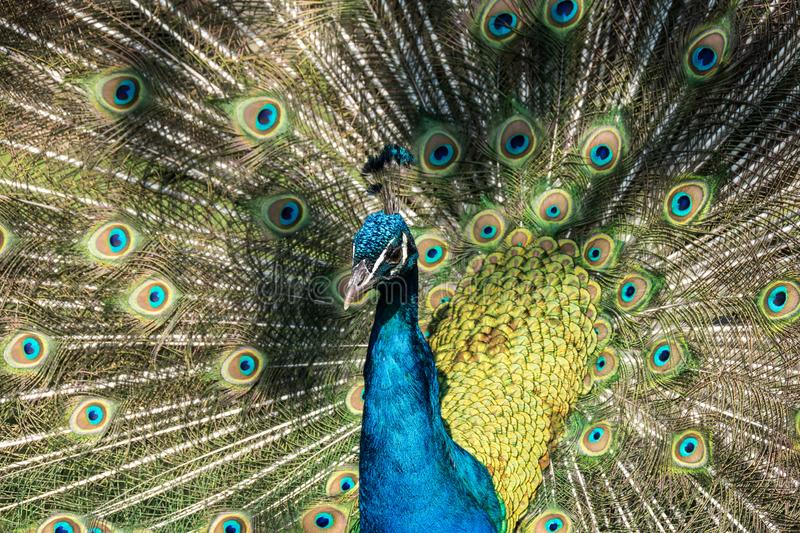 Indian Peacock or Blue Peacock, Pavo cristatus in the zoo. The Indian peafowl or blue peafowl, Pavo cristatus is a large and brightly coloured bird, is a species royalty free stock photo