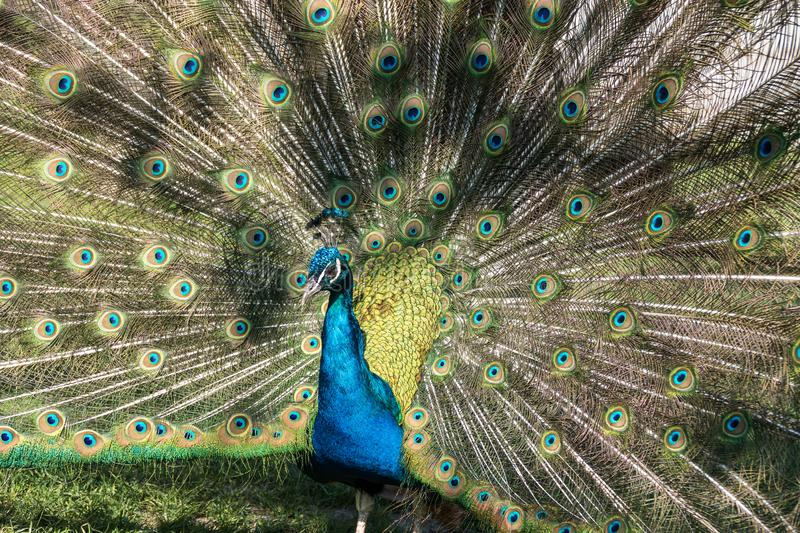 Indian Peacock or Blue Peacock, Pavo cristatus in the zoo. The Indian peafowl or blue peafowl, Pavo cristatus is a large and brightly coloured bird, is a species royalty free stock images