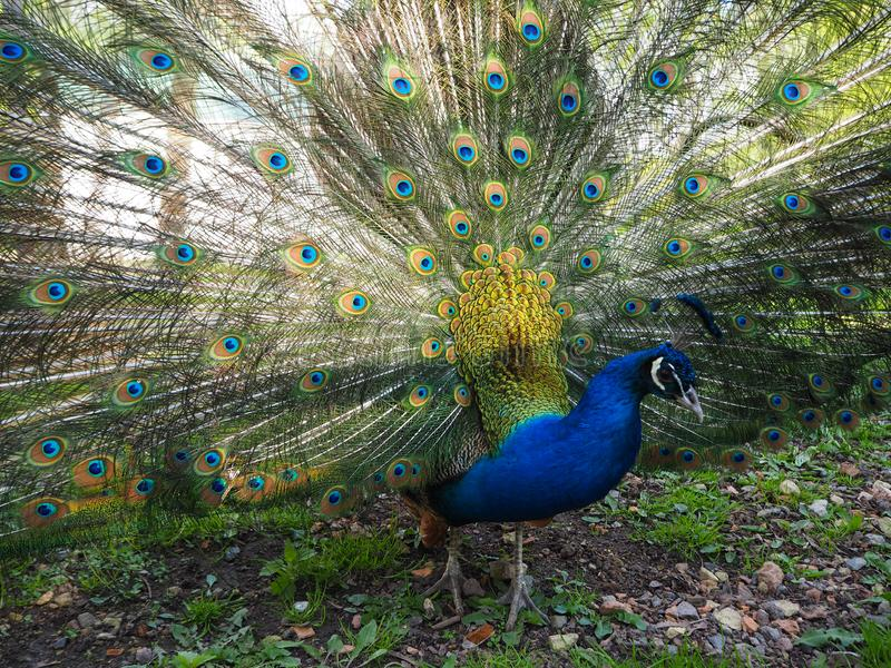 Indian peafowl or blue peafowl Pavo cristatus with open tail. In the yard of the park zoo close view royalty free stock photos