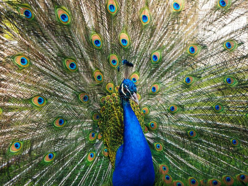 Indian peafowl or blue peafowl Pavo cristatus with open tail in the yard of the park zoo. Close view soft focus stock images