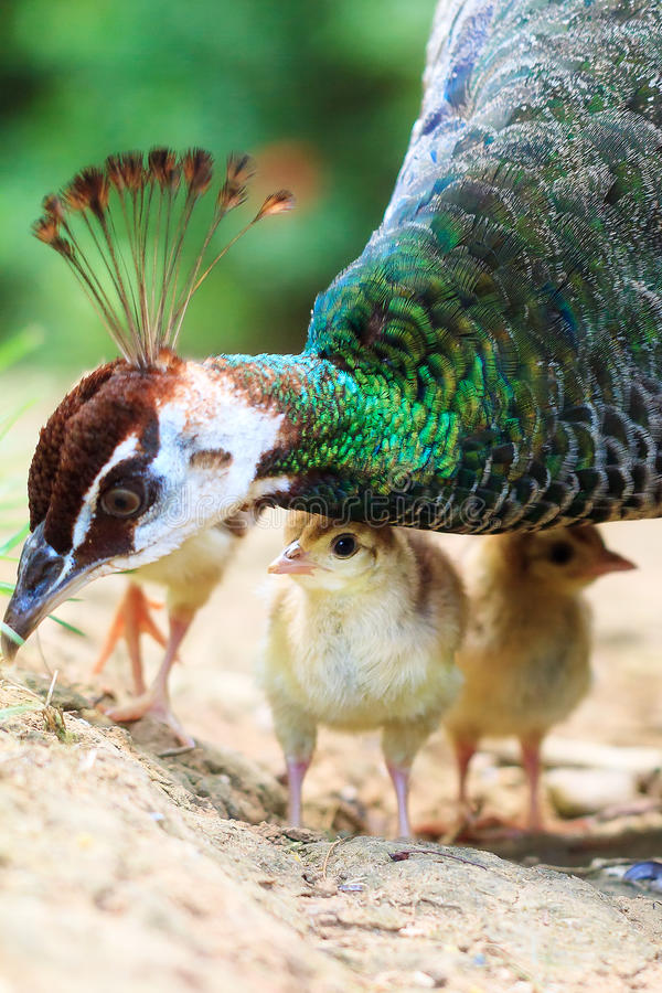 The Indian peafowl closeup chick. The Indian peafowl Pavo cristatus with cute newborn chicks royalty free stock photo