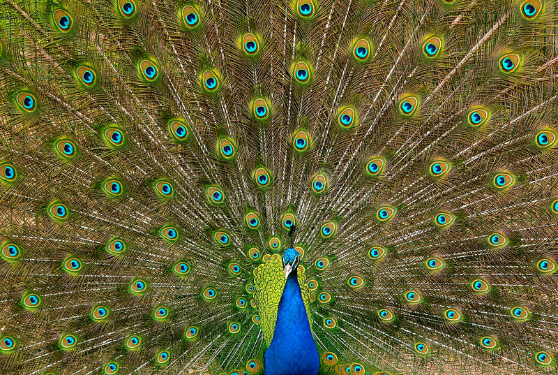 Indian Peafowl. With his tails fully spread doing mating dance royalty free stock photos