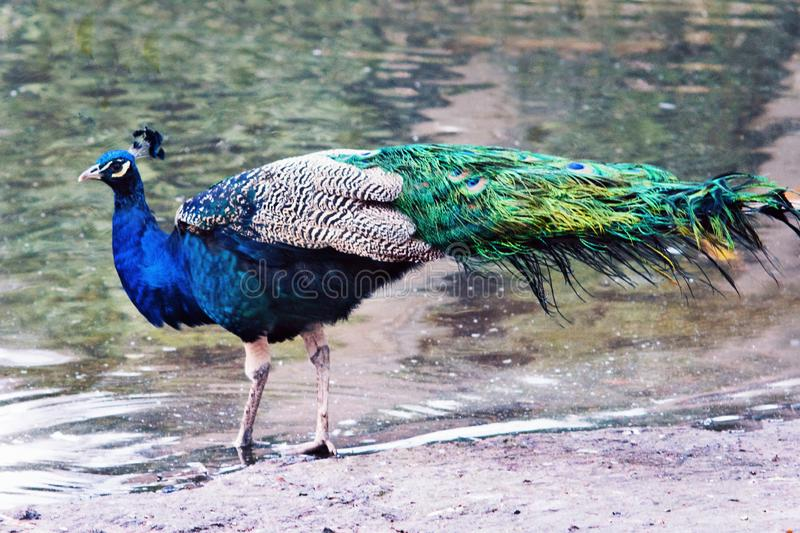 Indian peafowl. The Indian peafowl or blue peafowl & x28;Pavo cristatus& x29; in the coast of a lake royalty free stock image