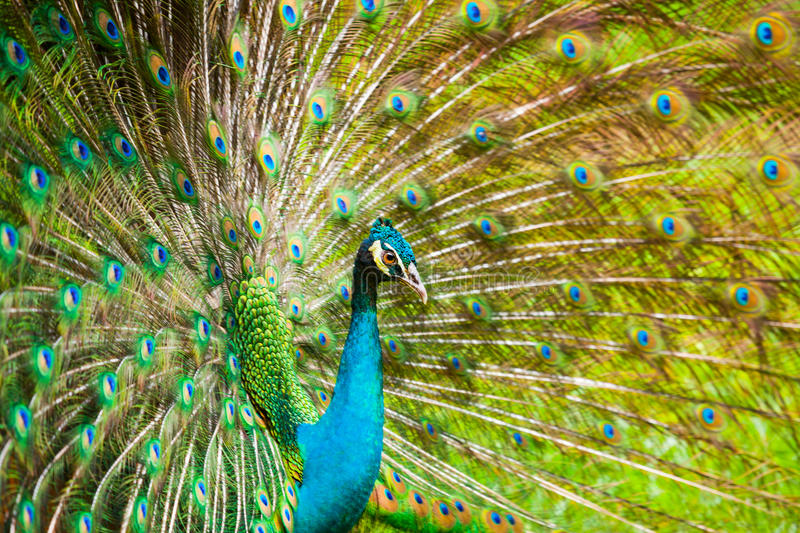 The Indian peafowl. Male displaying royalty free stock photos