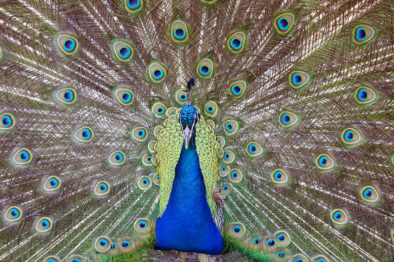 Indian Peafowl. An male Indian Peafowl displaying it's feathers stock photos