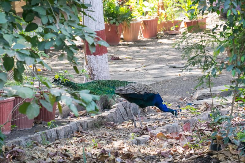 Indian Peafowl Male foraging in the garden. Indian peafowl or blue peafowl Pavo cristatus Male foraging in the garden. Indian Peafowl or Peacock is the National royalty free stock image