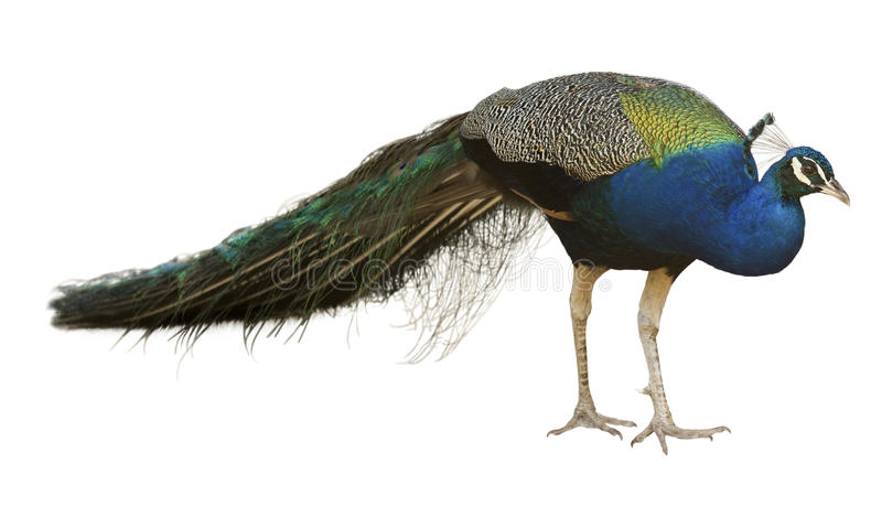 Indian Peafowl. Male Indian Peafowl. Isolated over white stock photo