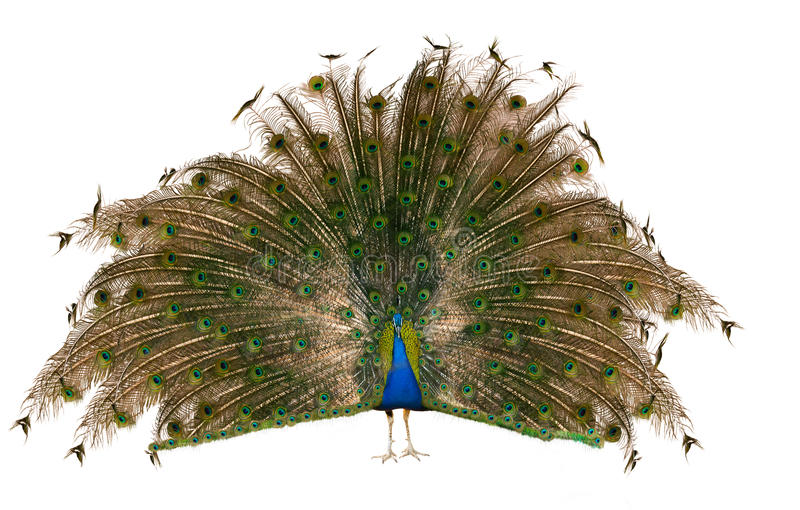 Indian Peafowl. Male Indian Peafowl over white royalty free stock image
