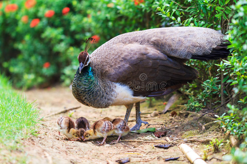The Indian peafowl with newborn royalty free stock image