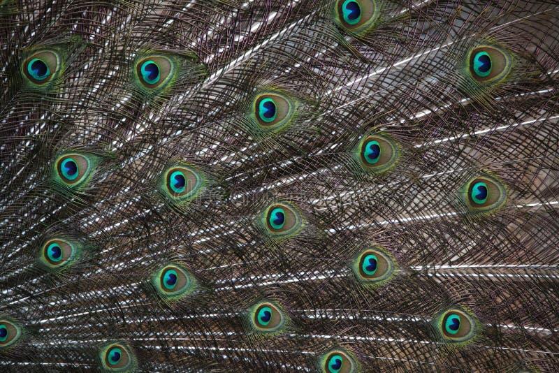 Indian peafowl (Pavo cristatus) royalty free stock photos