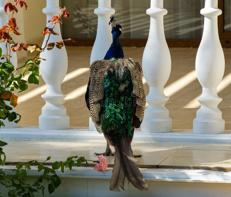 Indian peafowl Pavo cristatus or blue peacock resentment turned away and sits on balcony royalty free stock photography