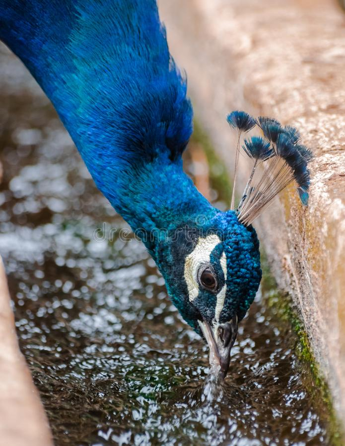 Indian peafowl, Pavo cristatus, head portrait. Drinking water stock image