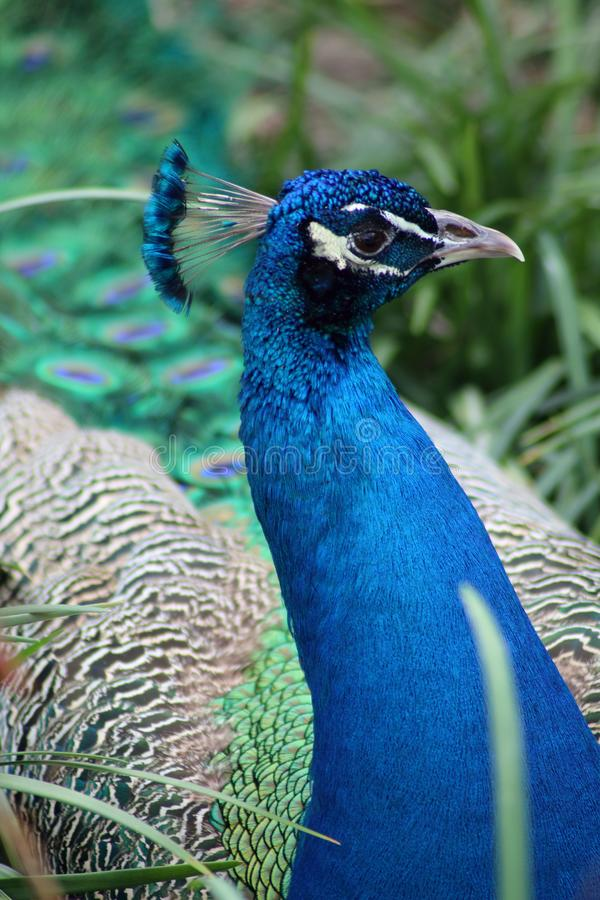 Indian peafowl posing for a portrait. The Indian peafowl or blue peafowl is a large and brightly colored bird, native to the Indian subcontinent but introduced stock images