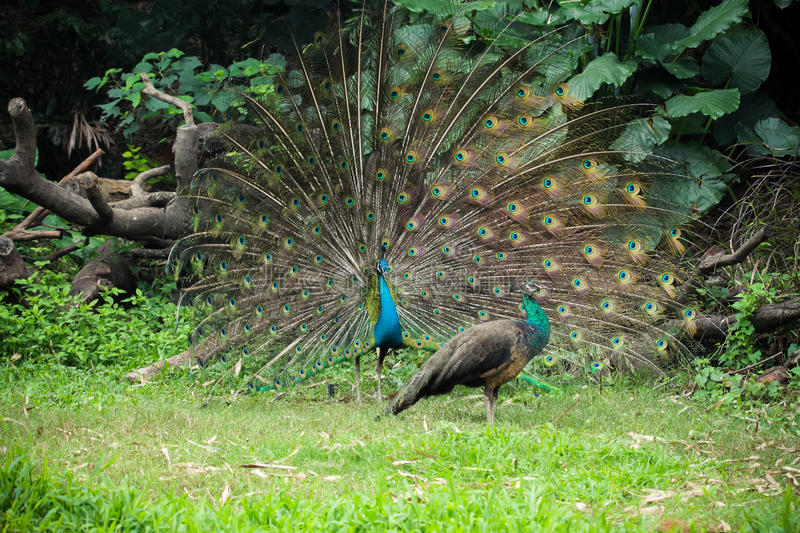 Indian Peafowl Seduction. A male Indian Peafowl trying to seduce a female royalty free stock photos