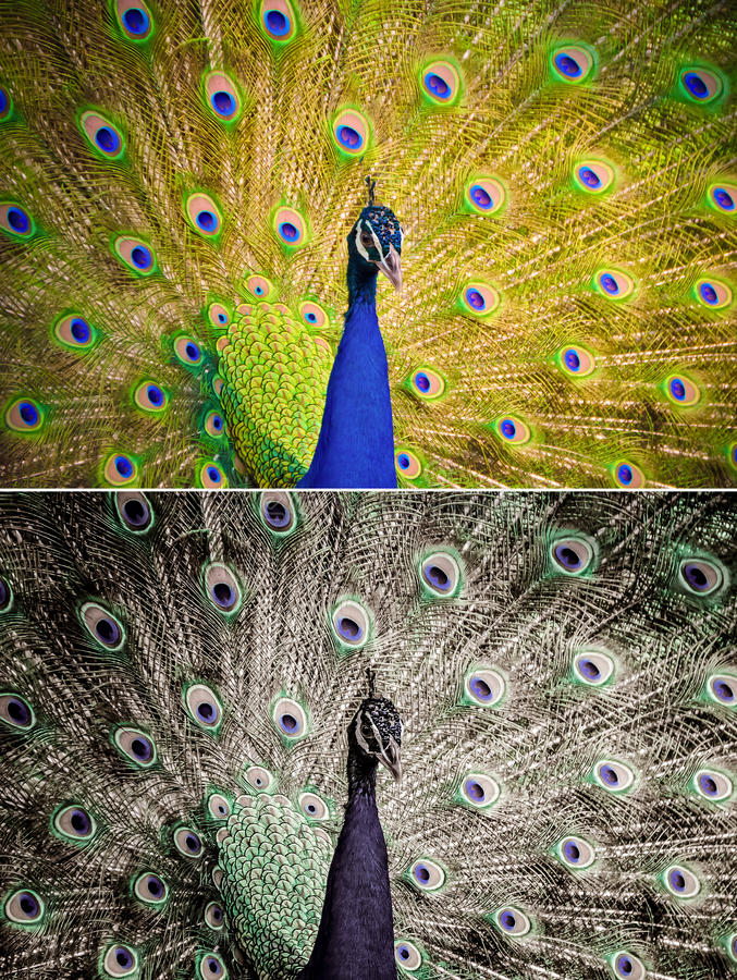An Indian peafowl is spreading it's tail-feathers to the female. In grunge style set stock photos