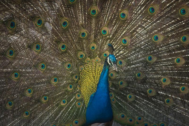 Indian peafowl with great tail. Indian peafowl in zoo with great tail royalty free stock photo