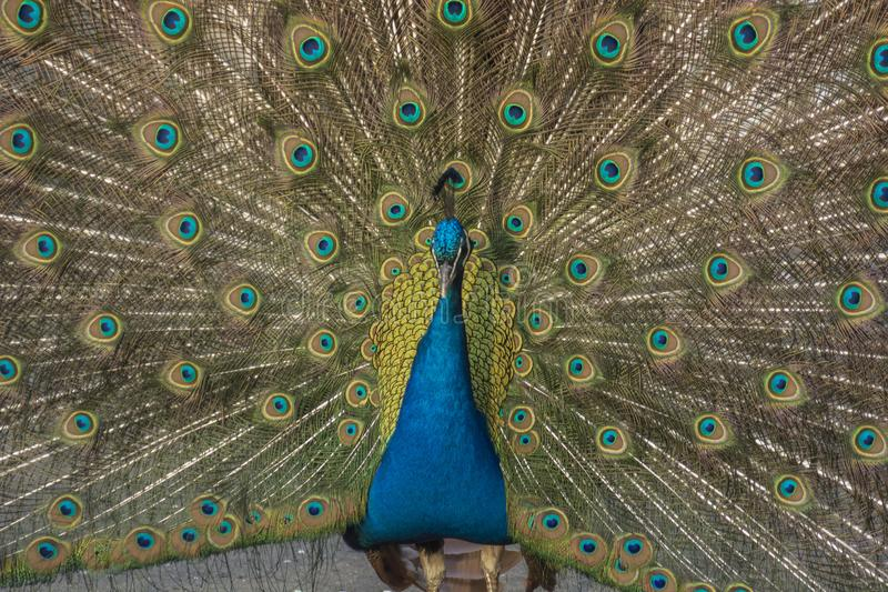 Indian peafowl with great tail. Indian peafowl in zoo with great tail royalty free stock image