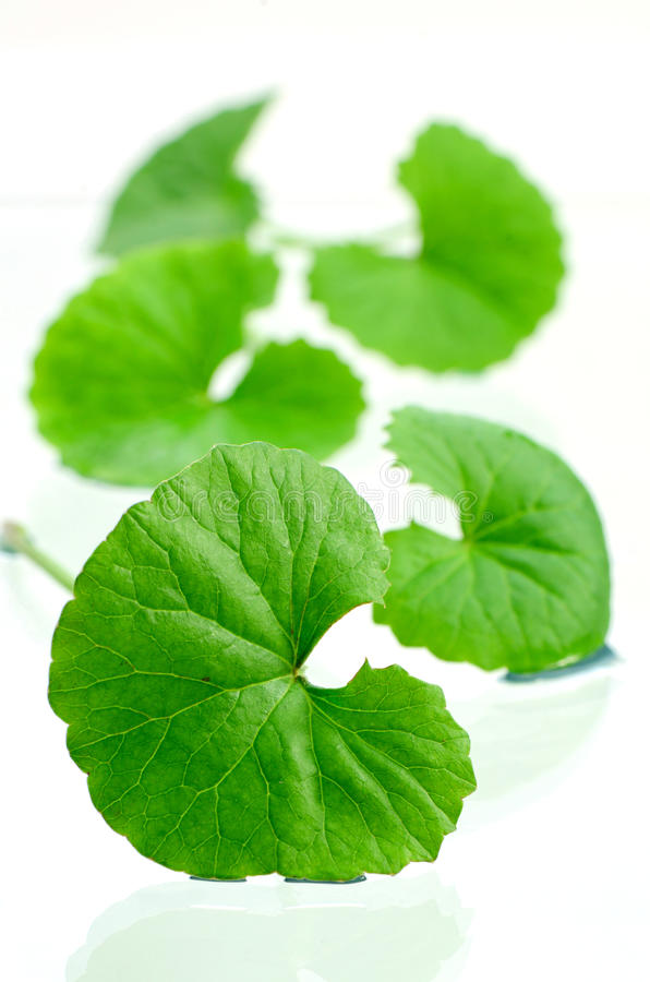 Free Indian Pennywort Brain Tonic Herbal Plant. Stock Photography - 79351382
