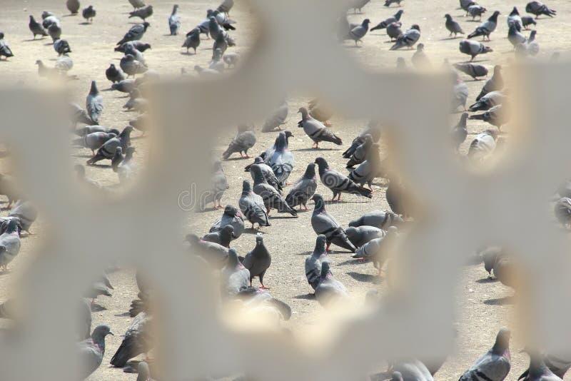 Indian Pigeons. stock photos