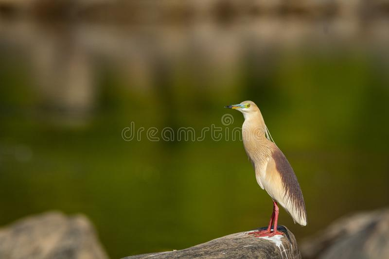 Indian pond heron or Ardeola grayii portrait with bright red legs in breeding season with a green background royalty free stock photography