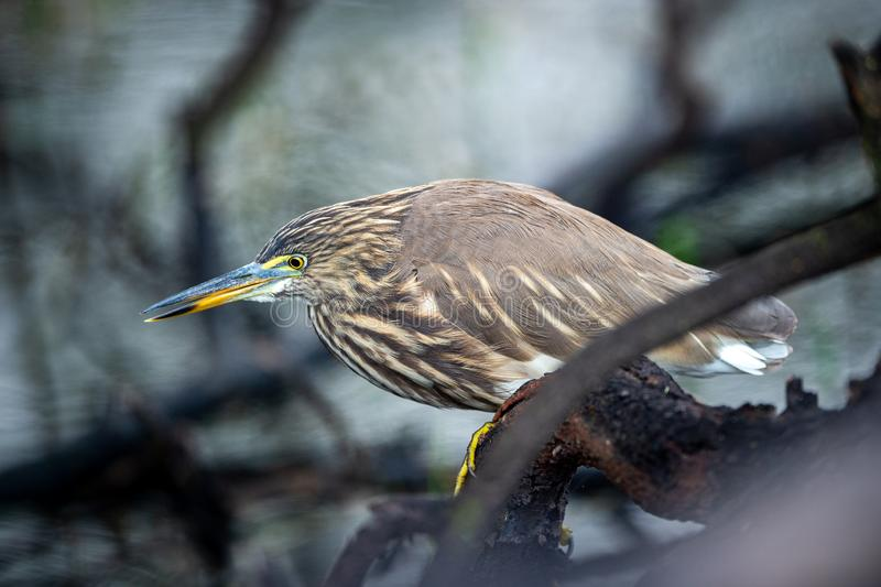 Indian Pond Heron or Ardeola grayii stalk on prey from perched at edge of water body at keoladeo national park or bird sanctuary. Bharatpur, rajasthan, india stock photos