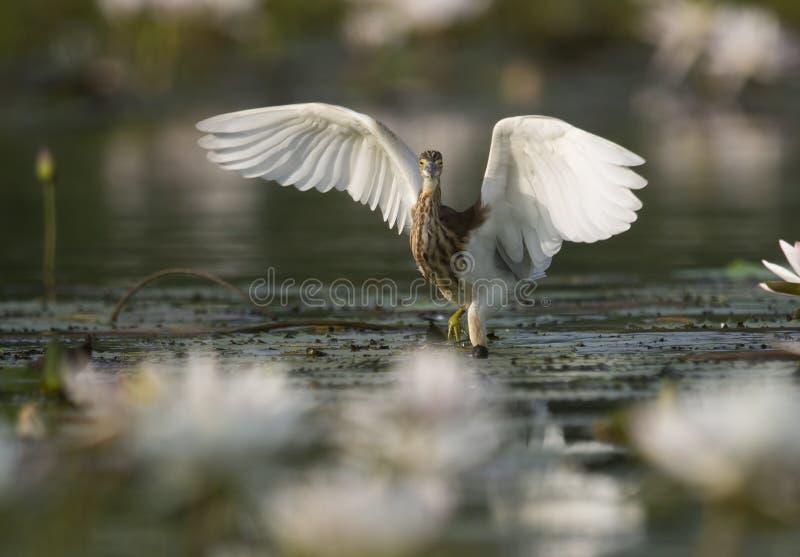 Indian Pond Heron Fishing in Pond lizenzfreie stockbilder