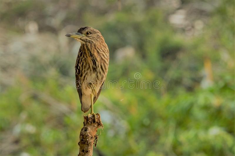 Indian pond heron with its awesome look. Indian Pond Heron at the forest @ bird sanctuary with its awesome look stock photos