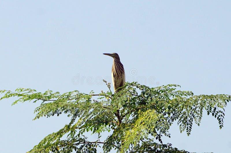 An Indian pond heron/paddy bird in the tree stock photos