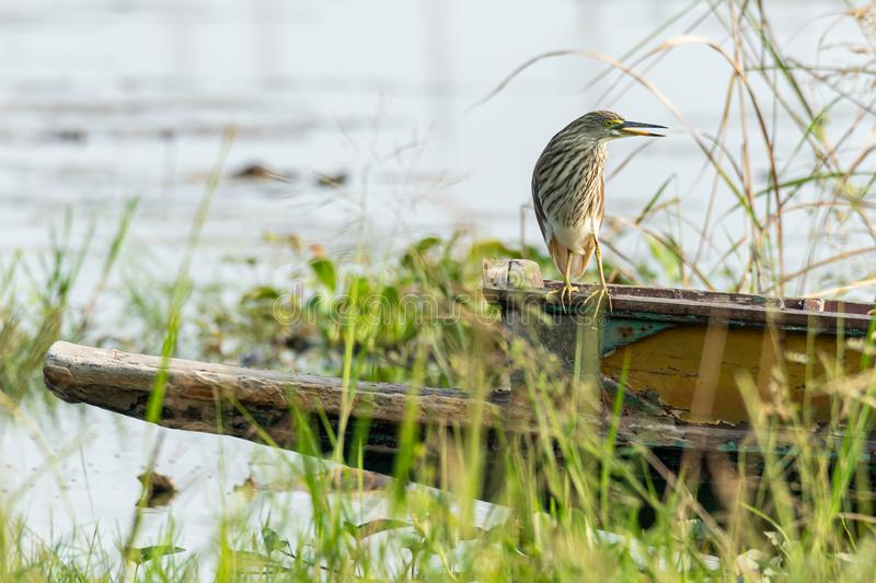 Indian Pond Heron perching on Thai small fishing boat gunwale looking into a distance. Nakornsawan, Thailand stock image