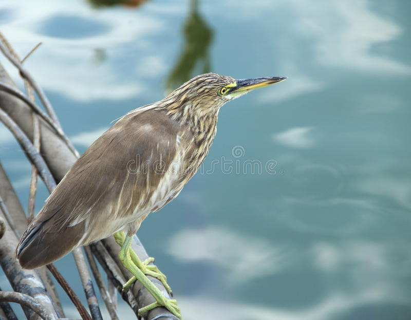 Indian Pond Heron. royalty free stock images