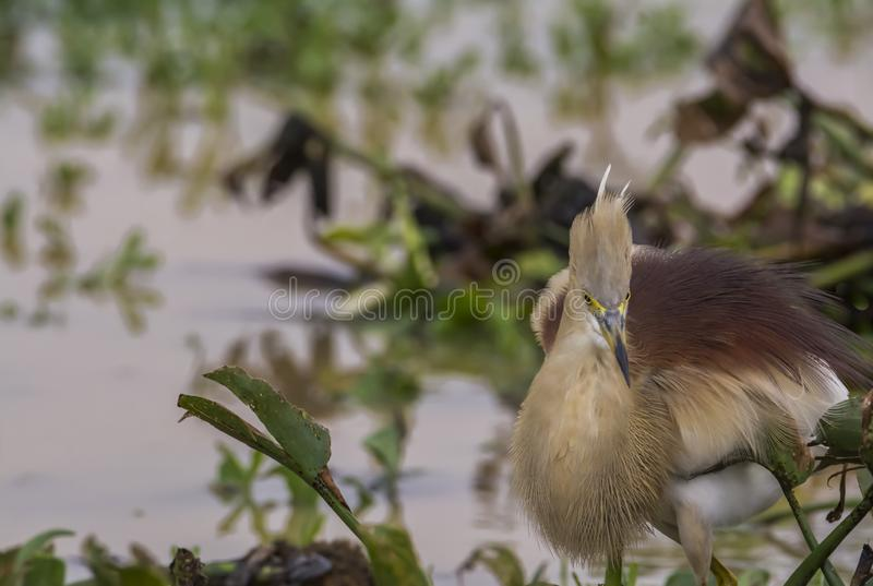 Indian Pond Heron in Breeding Plumage. The Indian Pond Heron is a small drab brown, or in breeding pink buff, heron with pure white wings and rump visible in stock photos