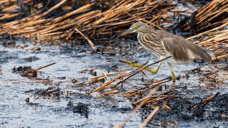 Indian Pond Heron wading on ashy mud of paddy field after harvest finding food to feed on royalty free stock photography