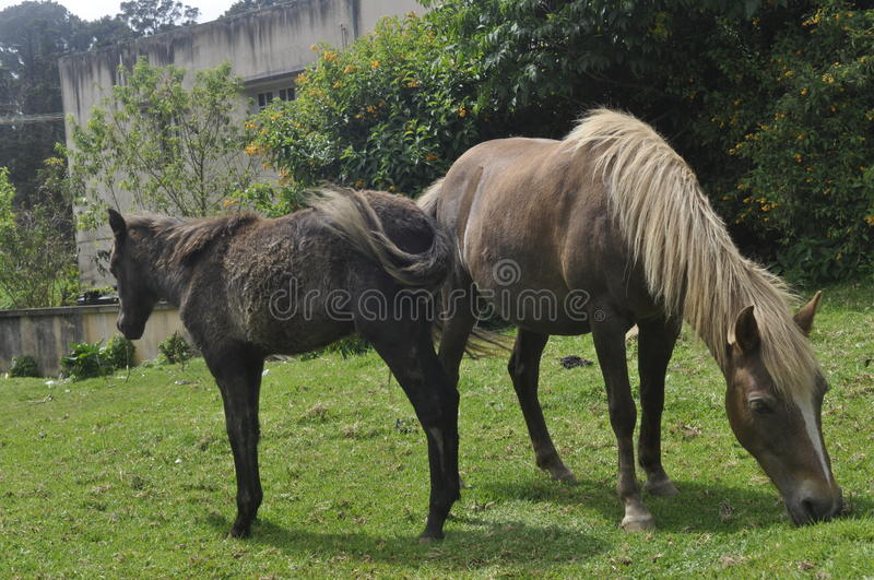 Indian Pony stock image