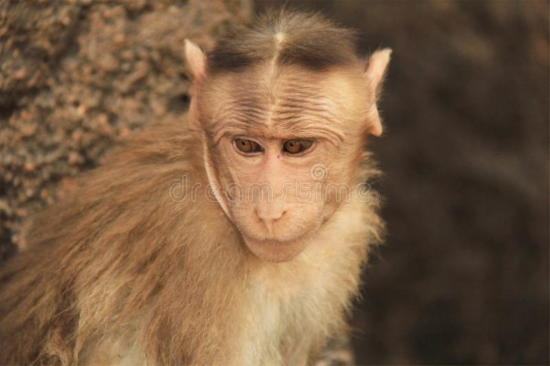 Jew Detector: Indian Red Alert Monkey Stock Photo. Image Of Horizontal