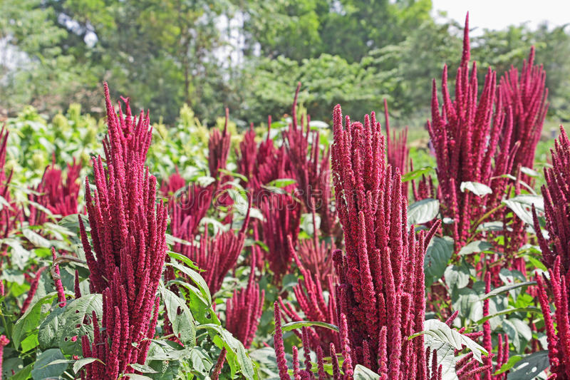Indian Red Amaranth Field royalty free stock photo