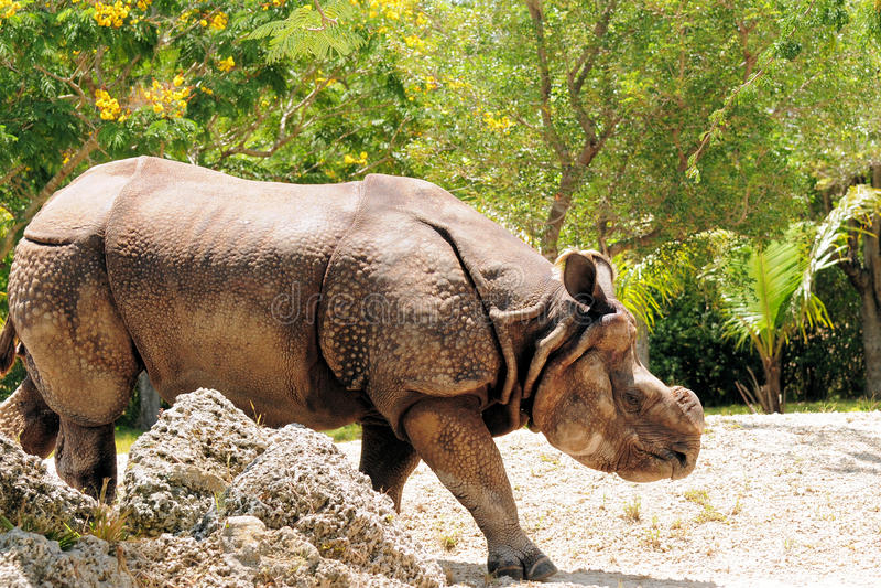 Indian Rhino Stock Photography
